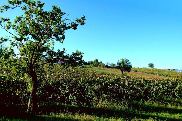 Le vecchie viti in collina