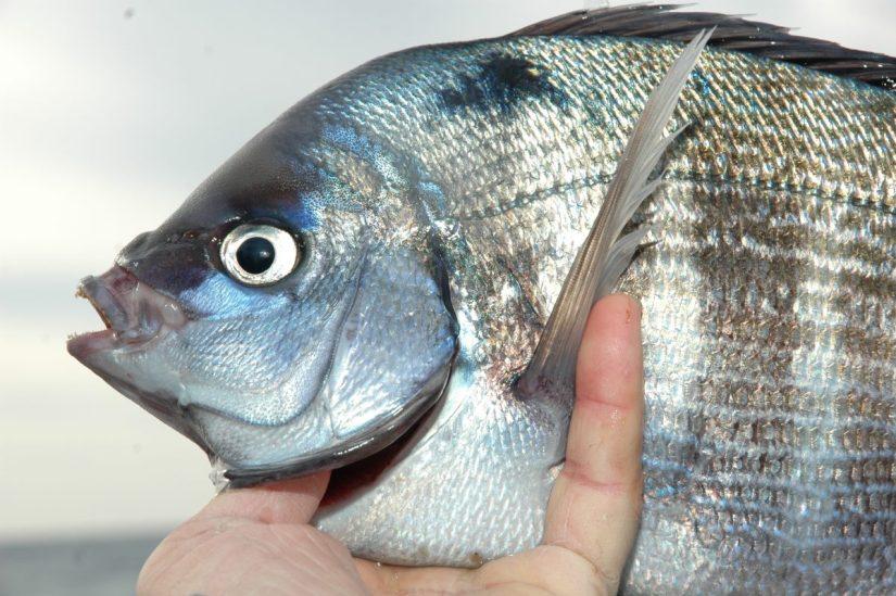 Il maschio della tanuta ha un colore blu violaceo