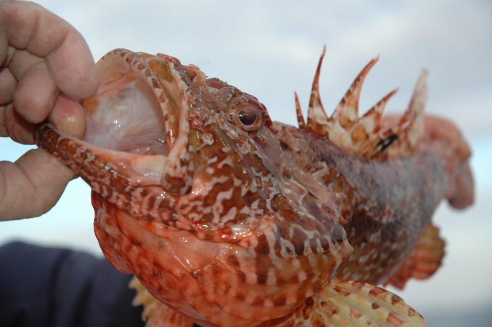 Lo scorfano rosso appena catturato con la sua pinna dorsale arcuata