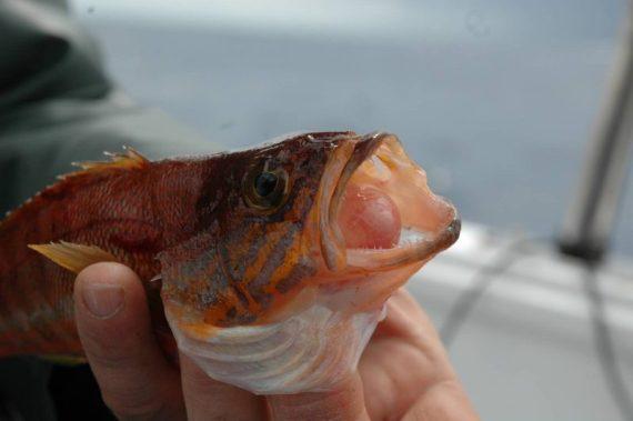Un grosso sciarrano classico dei pesci di scoglio a bolentino