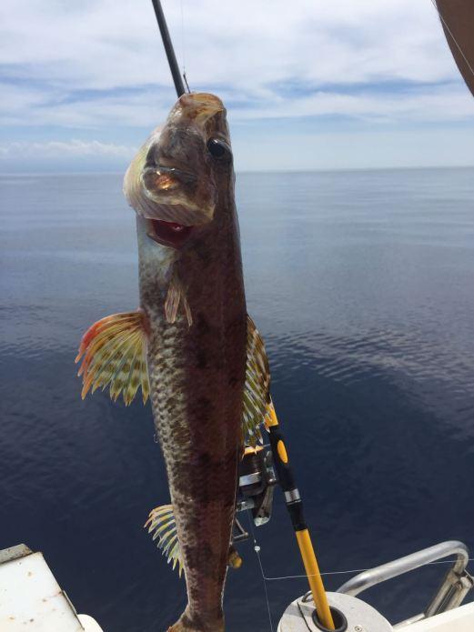 Il pesce lanterna puntato detto anche lacerto, comune in profondità