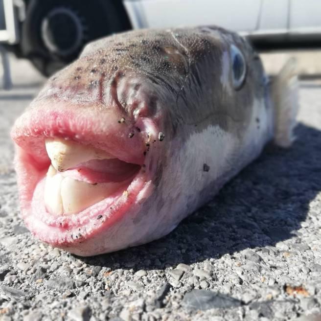 I denti del pesce palla