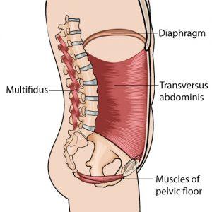 músculos profundos core