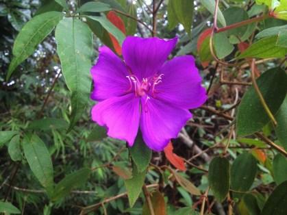 Flor da trilha - Parque do Itacolomi - MG - 2016