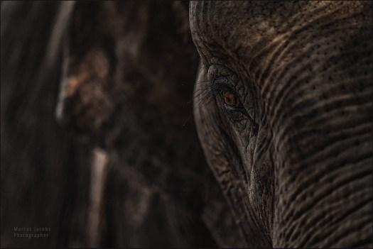 elephant_8009