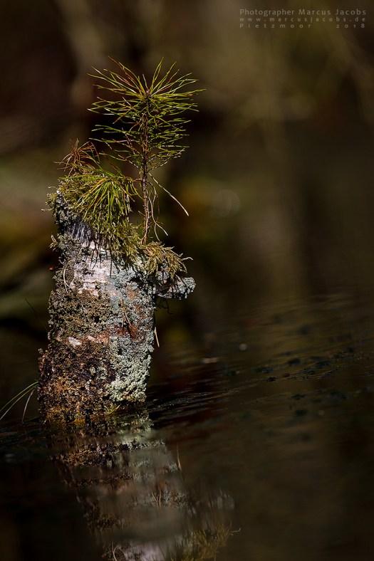 Kiefer Wasser Baumstamm