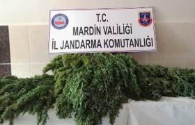 Kızıltepe'de tütün tarlasında  Hint keneviri bulundu