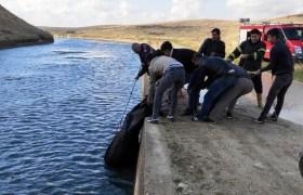 Sulama kanalına düşen inek kurtardı