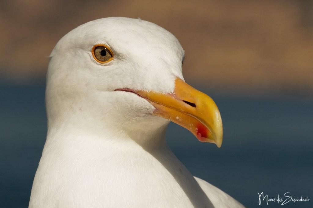 Herring gull - Heringsmöwe (Larus fuscus) California