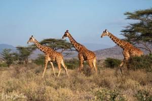 Reticulated Giraffes Samburu National Park - Netzgiraffe (Giraffa camelopardalis reticulata)