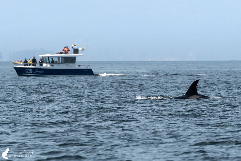 Orca Whale Watching San Juan Islands