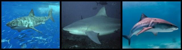 najgroźniejsze rekiny