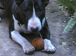 Jack the bull-terrier, inspiration behind Spike-BullT - Fauna Park Tales