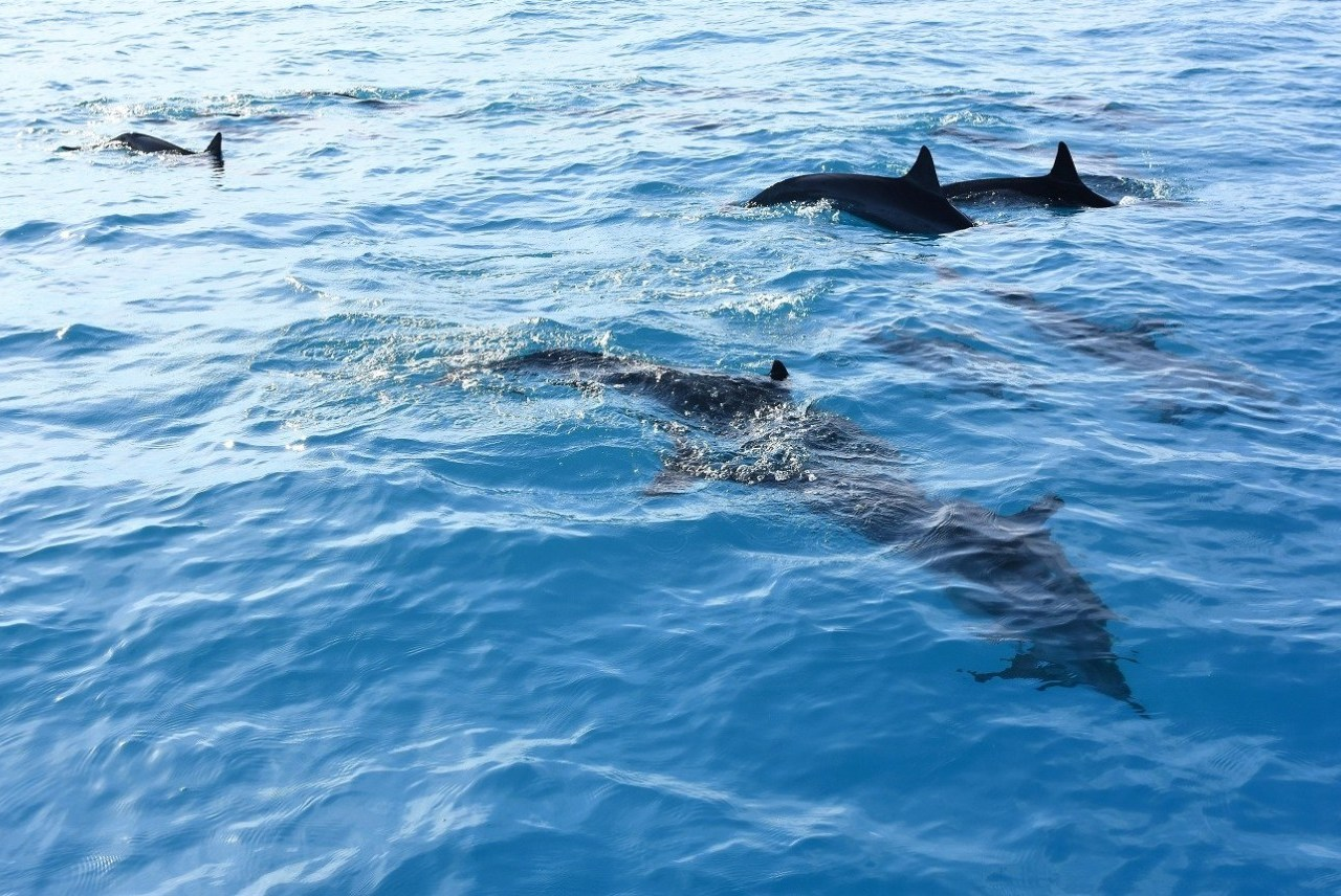 Whale Watching Plus Snorkeling With Dolphins and Manta Rays in Hawaii