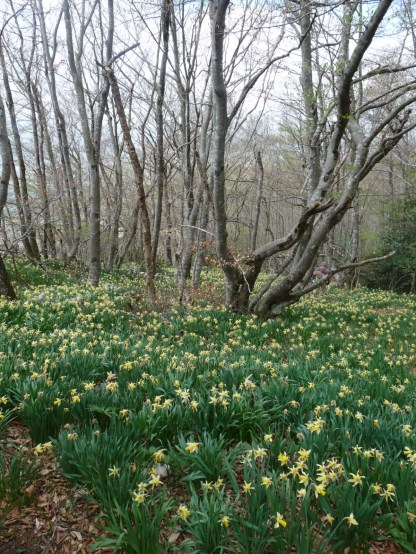 Endless daffodils