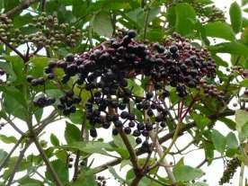 Elderberries too.