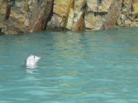 Grey seal swimming near our boat.