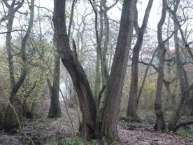 This woodland will be deep in bluebells next April