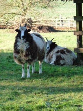 Those Jacob sheep supervise me home every single walk.