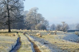 sleningforddecember2016sheep