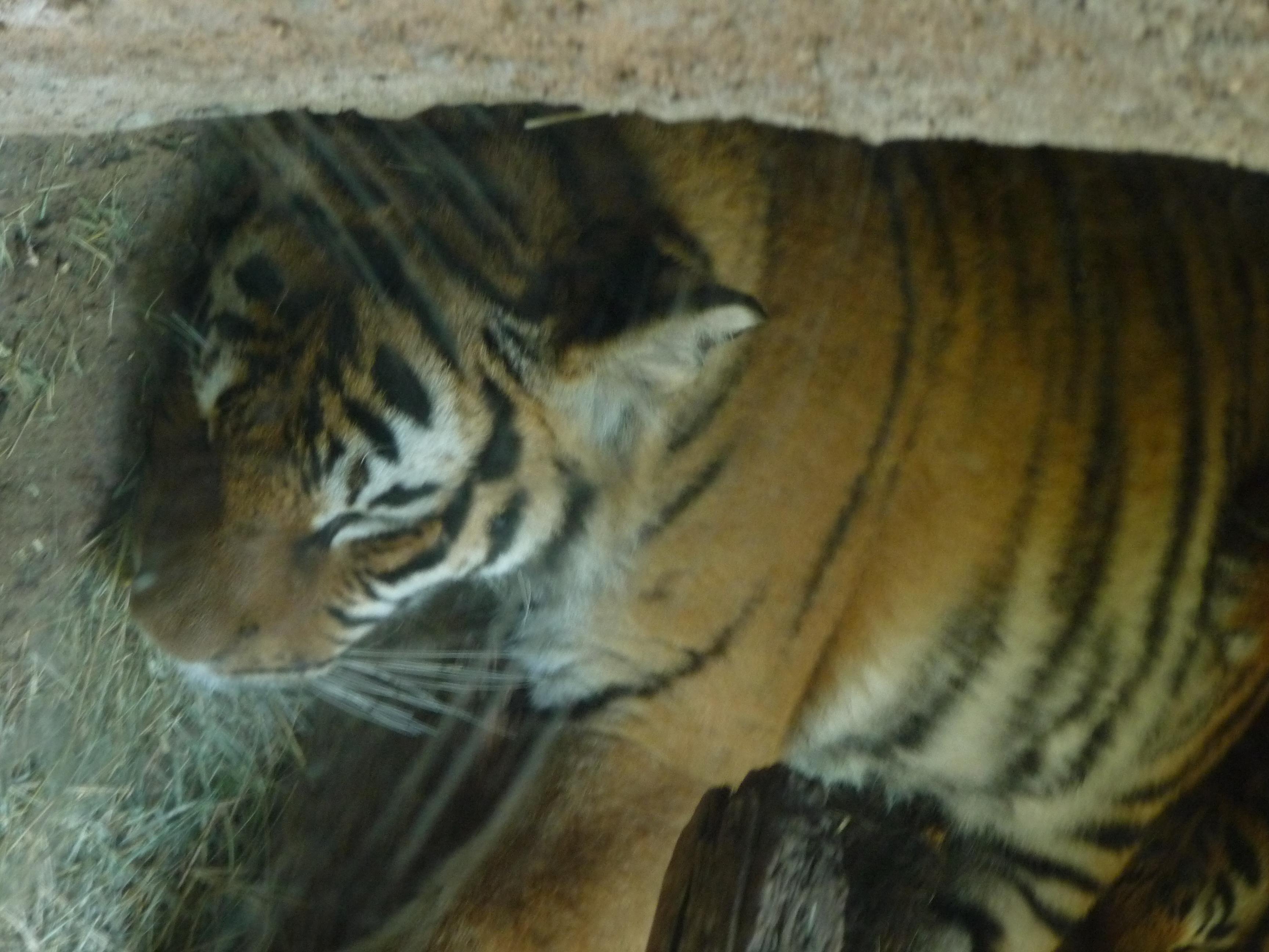 Sleeping tiger cubs, no flash