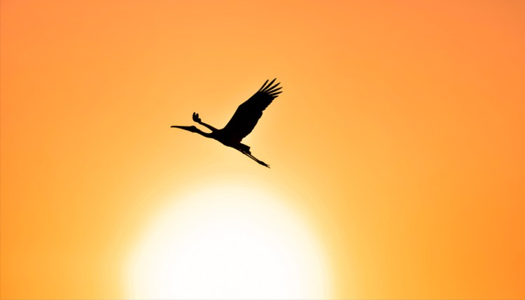 Stork flying in the sun