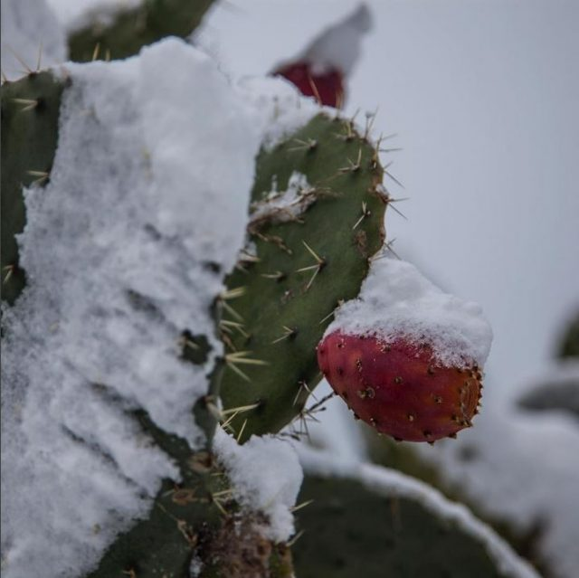 Snow on prickly pear in Sicily Photo by @logifran
