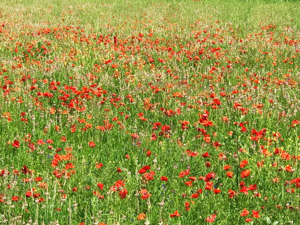 Poppies in Le Marche photo by Margie Miklas