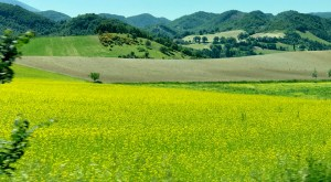 Rapeseed Le Marche Photo by Margie Miklas