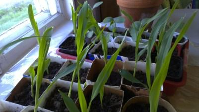 Die kleinen Maiszöglinge, dahinter die Gurken