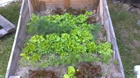 Im Frühbeet die ersten Salate, Dill und kleine Möhren