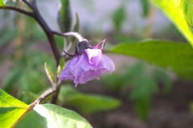 Die erste Auberginenblüte
