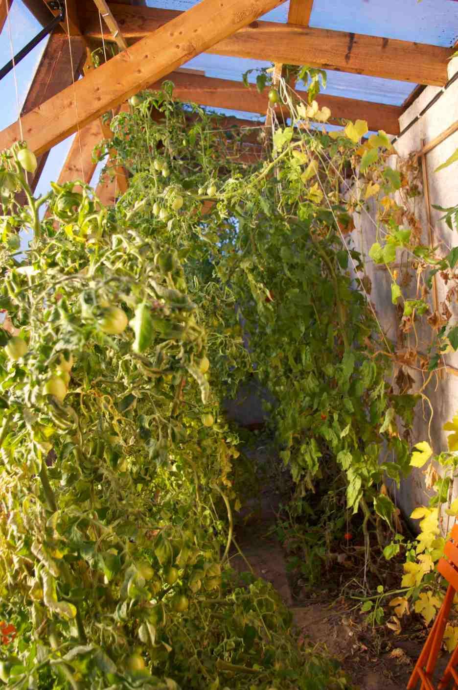 Die Tomaten wachsen mittlerweile bis zur Decke und mussten auch schon gestutzt werden