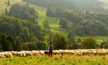 A shepherd who only feeds the male sheep in his flock?