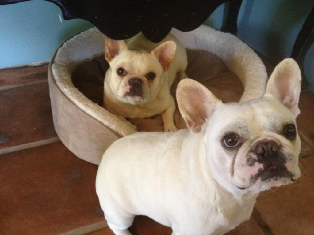 Margo Rey French Bulldogs