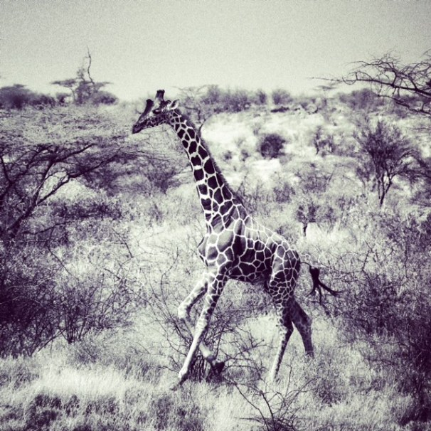 running giraffe 3