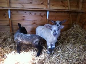 Lamb 1, Lamb 2 and lamb 3.  No names, dear Reader....