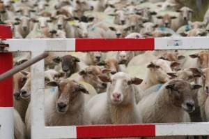 De schapen kunnen bijna niet wachten. Maar het hek is dicht, dus ze moeten wel.