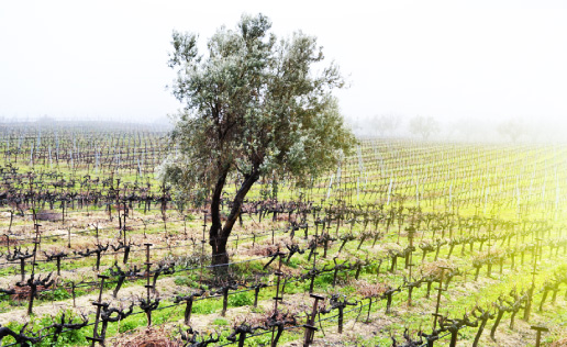 Olive Tree, Tourism - Itineraries - Greek wine