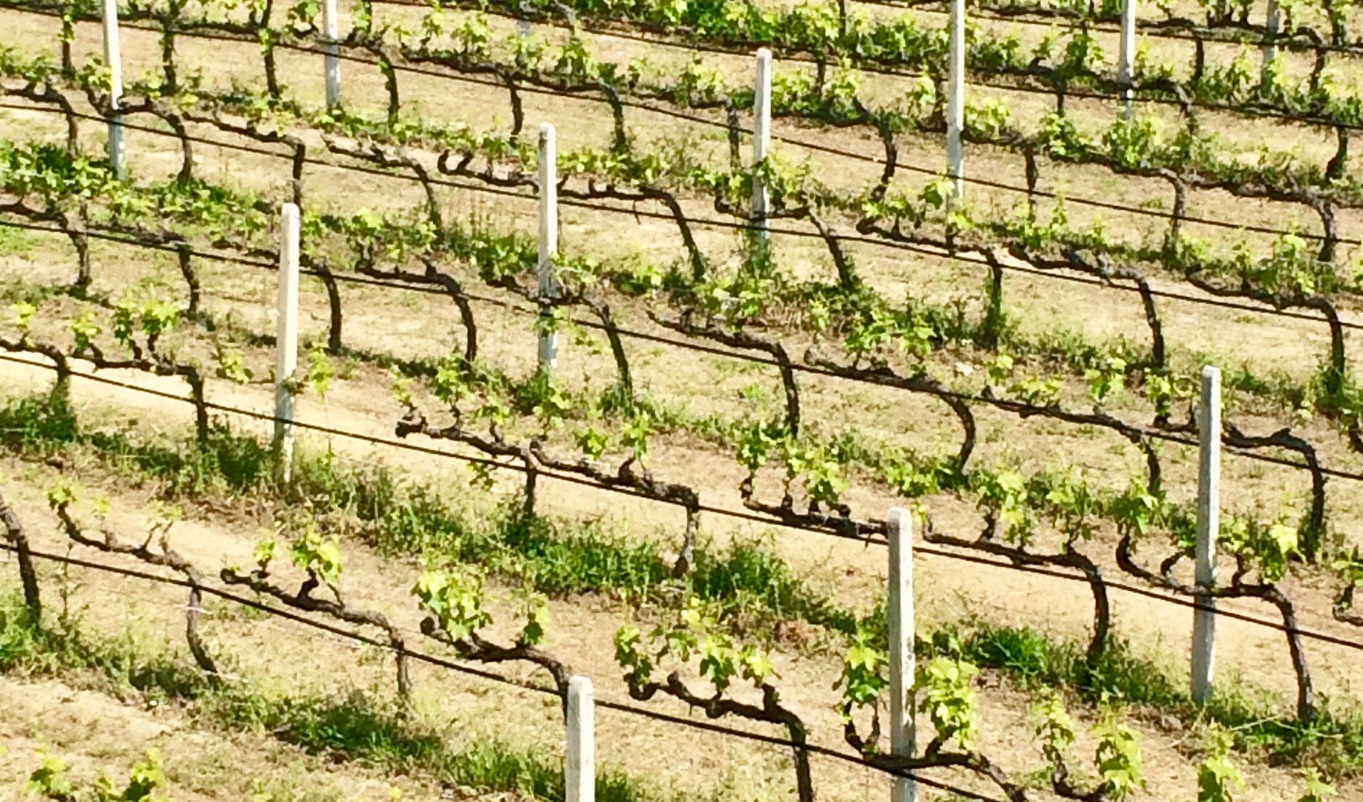 Educational wine trip-grape fields, Tourism - Itineraries - Greek wine