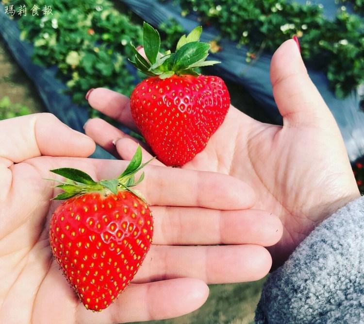 台中潭子|草莓世界 採草莓 台中就有觀光果園囉 免門票