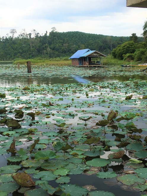 Lotus leaves cover the lake