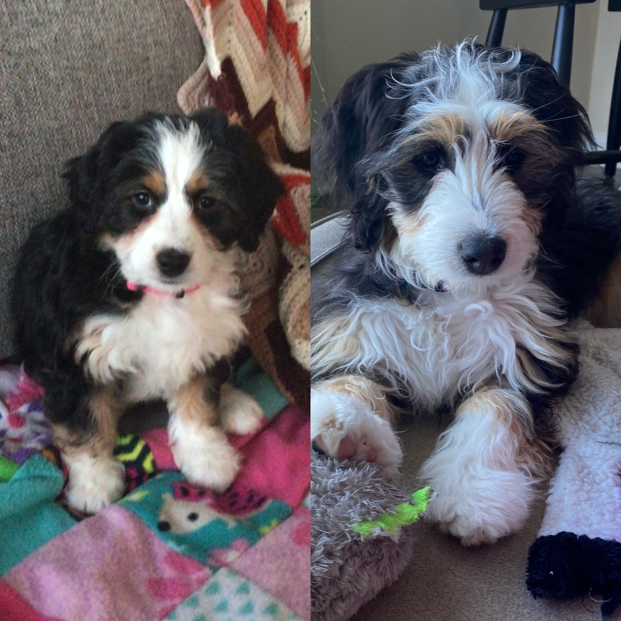 We Got TWO Puppies During the Pandemic and Survived! Ten things we learned having two puppies! #Puppies #Pandemic #PuppiesDuringThePademic #PuppyCareTips
