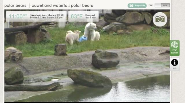 osos polares zoo