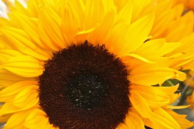 Day 1:3 Sunflower