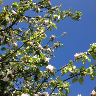 Apple blossom tree seen the same day