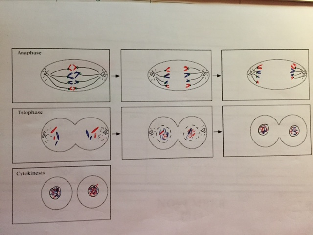 Mitosis Flipbook : mitosis, flipbook, Mariaing, [licensed, Non-commercial, Only]