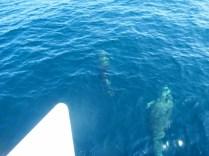 Los delfines nadaban junto al catamarán