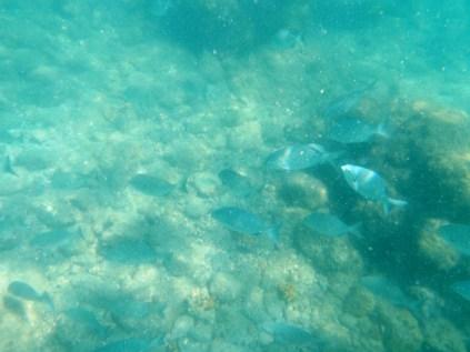Los peces de colores nadan entre los corales