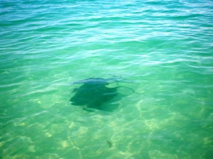 Un pez manta